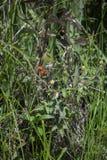 Dewberries som mognar i ett fält royaltyfria foton