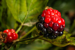 Dewberry bush. Black and red blackberries. Unripe blackberries Royalty Free Stock Images