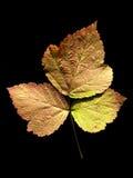 dewberryeuropeanleaf Royaltyfri Fotografi