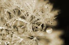 dewdrop одуванчика стоковое изображение