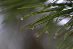 Dewdrop. On the branch of pine needles hanging dewdrops royalty free stock photos