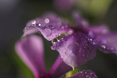 Dewdrop. The dew on the stamens after the rain Royalty Free Stock Photo