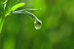 Dewdrop. Drop of dew in the early morning on the leaves of plants. Sunlight is reflected in a drop of colored rays. The surrounding nature is also reflected in a Royalty Free Stock Image
