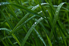 Dewdrop. On the Grass hanging dewdrops royalty free stock images