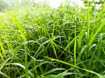 Dewdrop on the green grass. In the Morning Stock Image