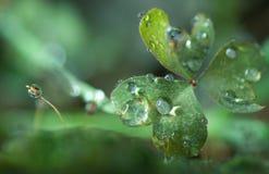 Dewdrop on leaf Royalty Free Stock Image