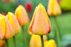 Dewdrop Tulips Stock Images