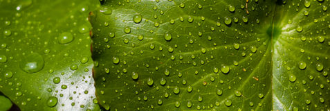 Dewdrop. Water drops on lotus leaf Royalty Free Stock Image