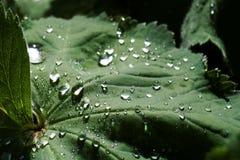 dewdrops Immagini Stock