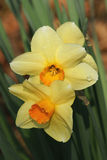 Dewdrops on Daffodils. Close-up of yellow daffodils with orange centers, marked by a dewdrop Royalty Free Stock Images