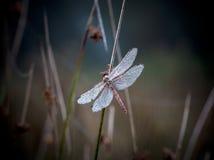 dewdrops dragonfly obrazy royalty free