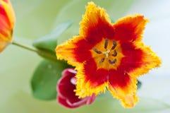 Tulipa bonita fotos de stock royalty free