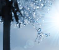 Dewdrops on a flower dandelion Stock Images