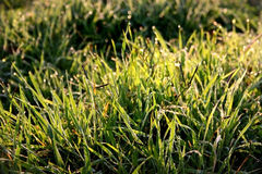 Dewdrops On Grass Royalty Free Stock Photos