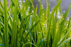 Dewdrops on grass. Sparkling in the sun Royalty Free Stock Images