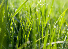 Dewdrops on green grass. In sunlight Royalty Free Stock Photography