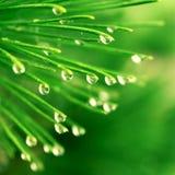 dewdrops igły sosna fotografia stock