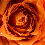 Dewdrops lub raindrops na róży obrazy royalty free