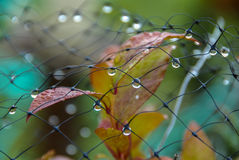 Dewdrops on mesh. Deer protection over blueberry plants Stock Photos