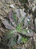 Dewdrops na dzikiej tłustoszowatej roślinie Obrazy Stock