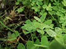 Dewdrops na koniczynowej roślinie zdjęcia royalty free