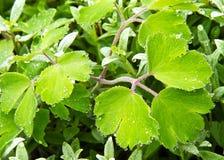 Dewdrops na zielonym liściu Zdjęcia Stock