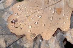 Dewdrops on oak autumn leaf Royalty Free Stock Image