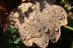 Dewdrops on oak autumn leaf Stock Photos
