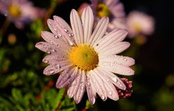 Dewdrops on pink flower