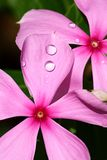 Dewdrops on pink flowers royalty free stock photos