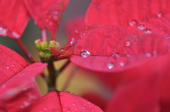 The dewdrops on red leaves Royalty Free Stock Photo