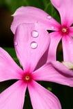 Dewdrops sui fiori rosa Fotografie Stock Libere da Diritti