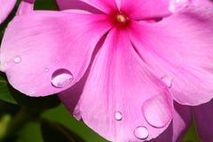 Dewdrops sui fiori rosa Fotografia Stock Libera da Diritti