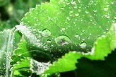 Dewdrops sui fogli dell'alchemilla Fotografia Stock