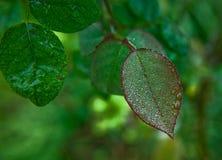 Dewdrops sul foglio Fotografie Stock Libere da Diritti