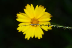 Dewdrops und Blume # Lizenzfreie Stockfotografie