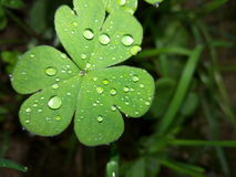 Flawer. Water drops on the shamrock leaves royalty free stock photo