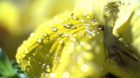 Dewdrops on a Yellow Flower stock video