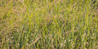 Dewed Grasses. Early morning light reveals prairie grass covered with dew drops Stock Images