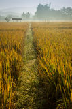 Dewey Path. A heavy early morning dew feshens up the rice fields in Northern Thailand Stock Image
