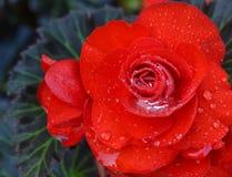 Dewey rose Royalty Free Stock Image