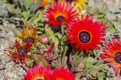 Dewflowers di rosso di speciosum di Drosanthemum Fotografie Stock