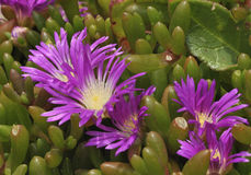 dewplant purple Royaltyfria Foton