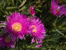 dewplant purpury Zdjęcia Stock