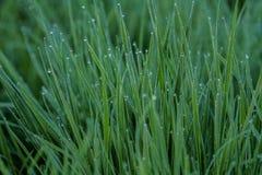 Dews na trawie Obraz Royalty Free