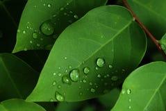 Dews na zielonym liściu Obrazy Royalty Free