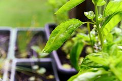 Dewy Basil. A close up of a dewy basil plant with other herbs in the background Stock Photos