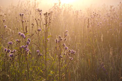 Dewy beautiful summer morning grass and sunrise sunlight Royalty Free Stock Photo