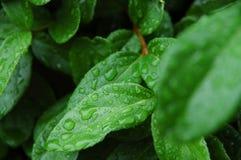 Dewy Blätter Stockfotografie
