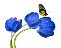Dewy blue tulips. With butterfly and ladybug isolated on white background Stock Image